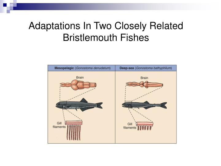 Adaptations In Two Closely Related Bristlemouth Fishes