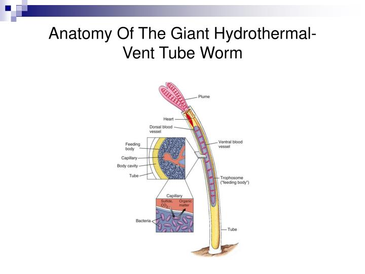 Anatomy Of The Giant Hydrothermal-Vent Tube Worm