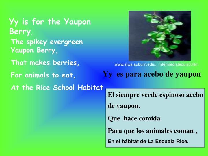 Yy is for the Yaupon Berry