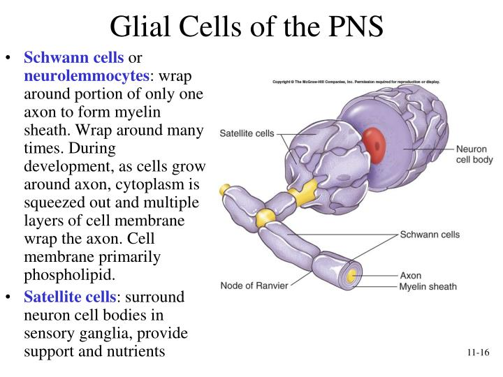 PPT - Functional Organization of Nervous Tissue PowerPoint ...
