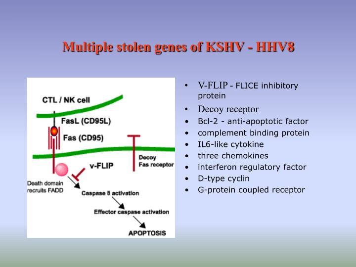 Multiple stolen genes of KSHV - HHV8