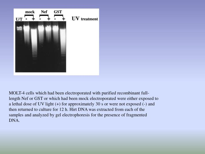 MOLT-4 cells which had been electroporated with purified recombinant full-length Nef or GST or which had been mock electroporated were either exposed to a lethal dose of UV light (+) for approximately 30 s or were not exposed (-) and then returned to culture for 12 h. Hirt DNA was extracted from each of the samples and analyzed by gel electrophoresis for the presence of fragmented DNA.