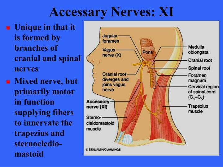 Accessary Nerves: XI