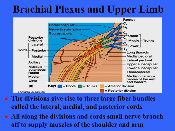 Brachial Plexus and Upper Limb