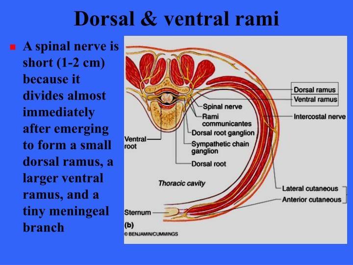 Dorsal & ventral rami