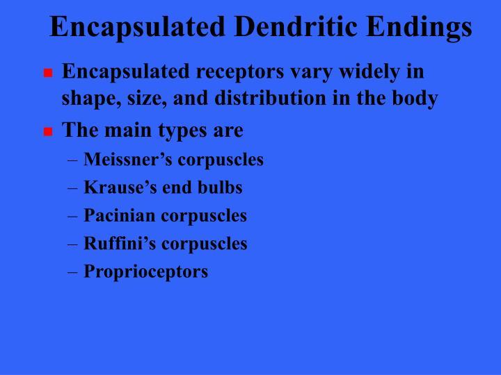 Encapsulated Dendritic Endings