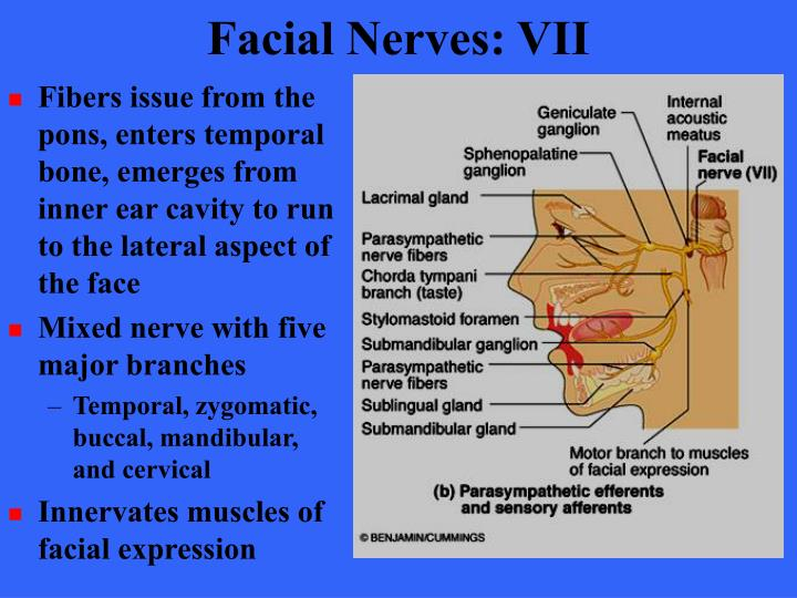Facial Nerves: VII