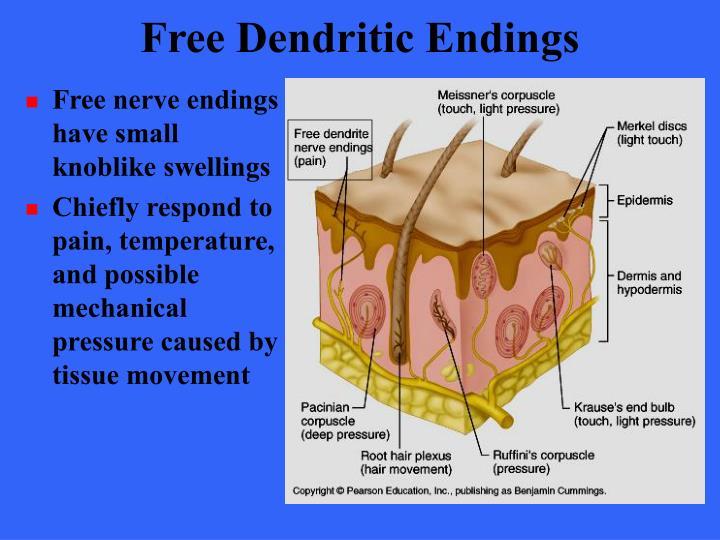 Free Dendritic Endings