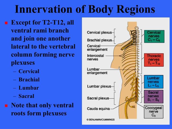 Innervation of Body Regions