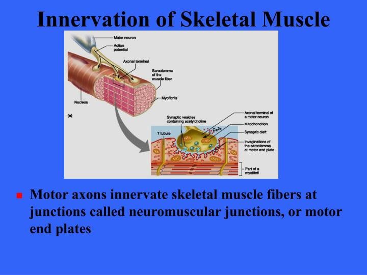 Innervation of Skeletal Muscle