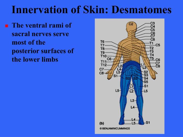 Innervation of Skin: Desmatomes