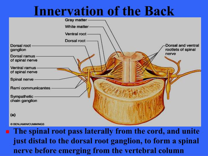 Innervation of the Back