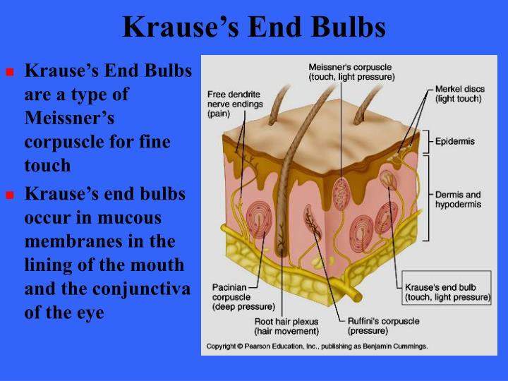Krause's End Bulbs
