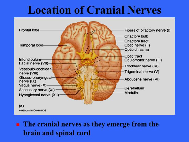 Location of Cranial Nerves