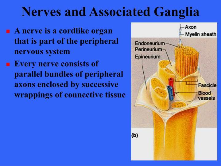 Nerves and Associated Ganglia