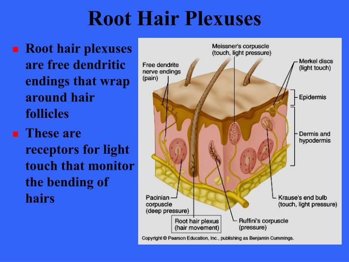 Root Hair Plexuses
