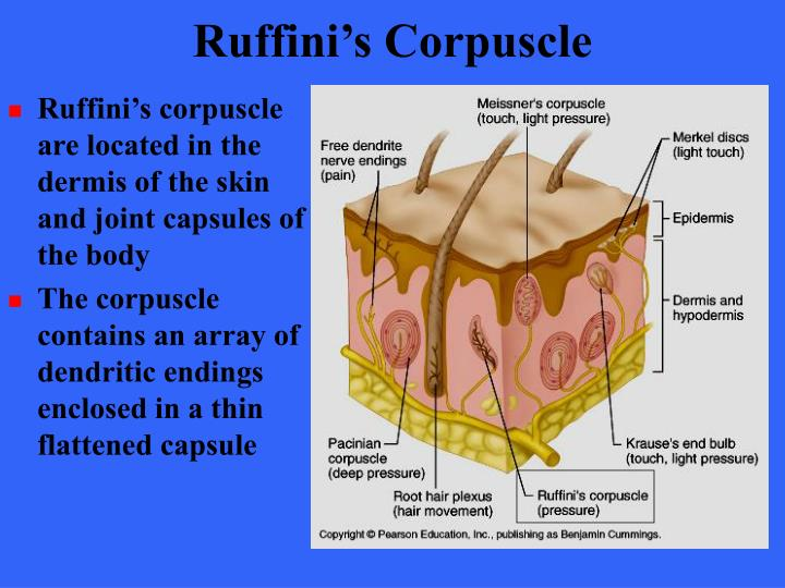 Ruffini's Corpuscle