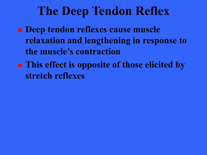 Deep tendon reflexes cause muscle relaxation and lengthening in response to the muscle's contraction