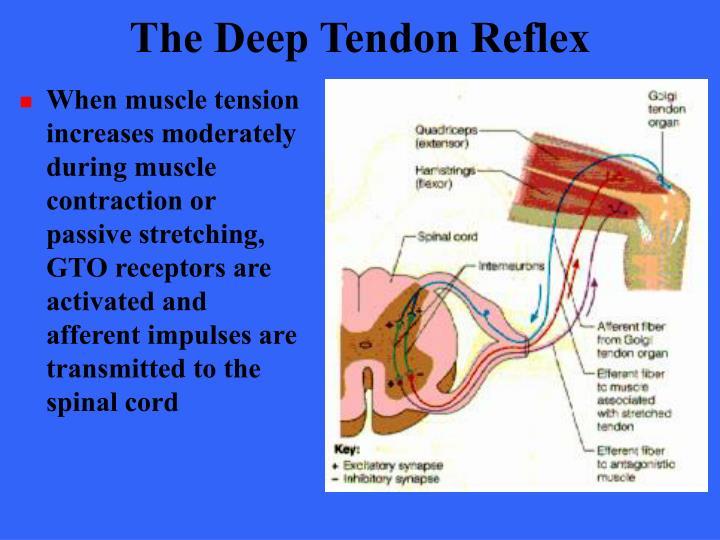 The Deep Tendon Reflex