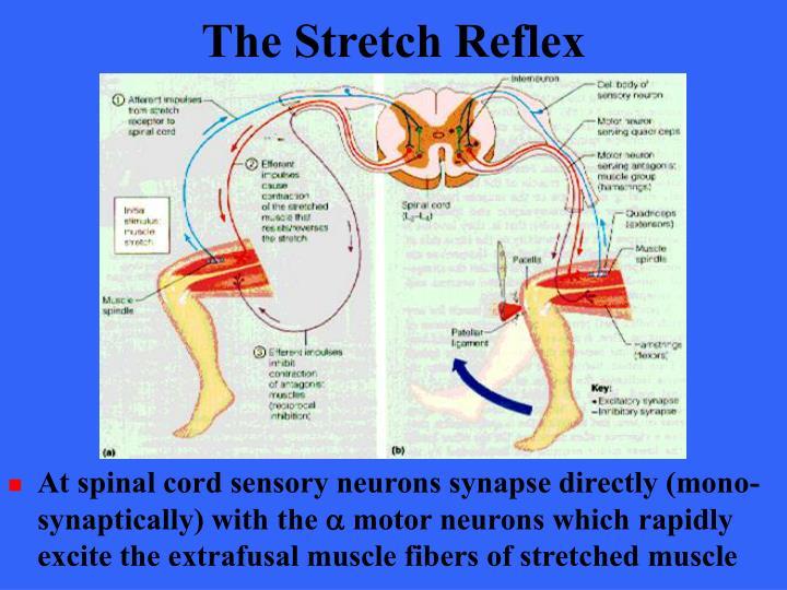 The Stretch Reflex