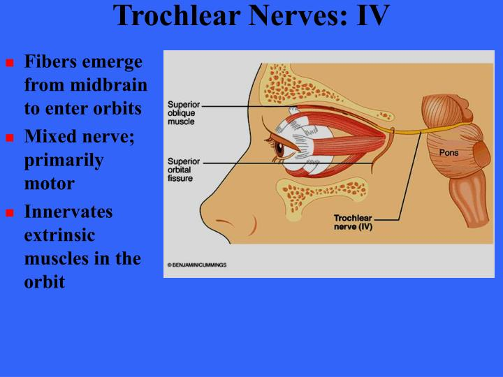 Trochlear Nerves: IV
