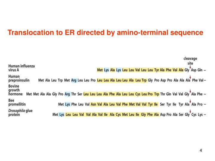Translocation to ER directed by amino-terminal sequence