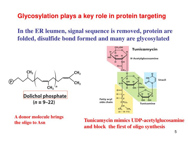 Glycosylation plays a key role in protein targeting