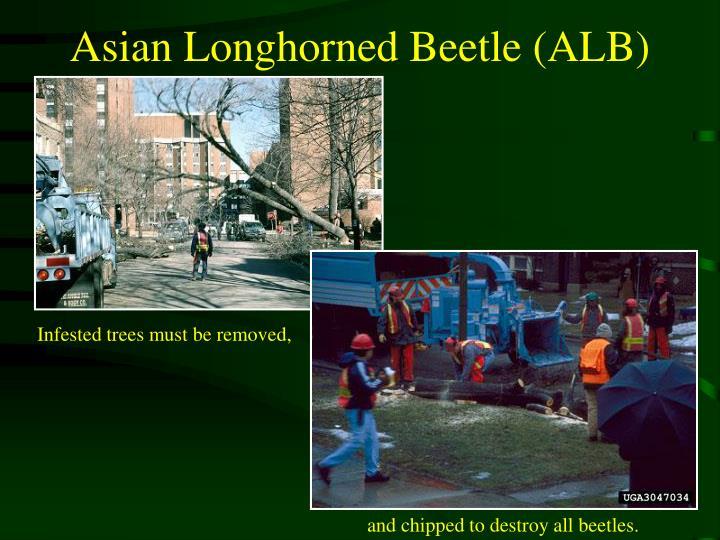Asian Longhorned Beetle (ALB)