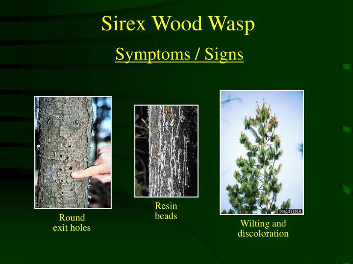 Sirex Wood Wasp