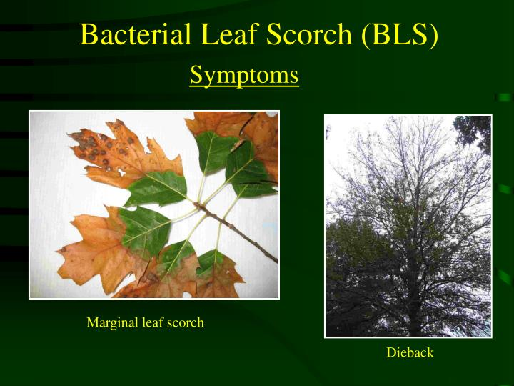Bacterial Leaf Scorch (BLS)