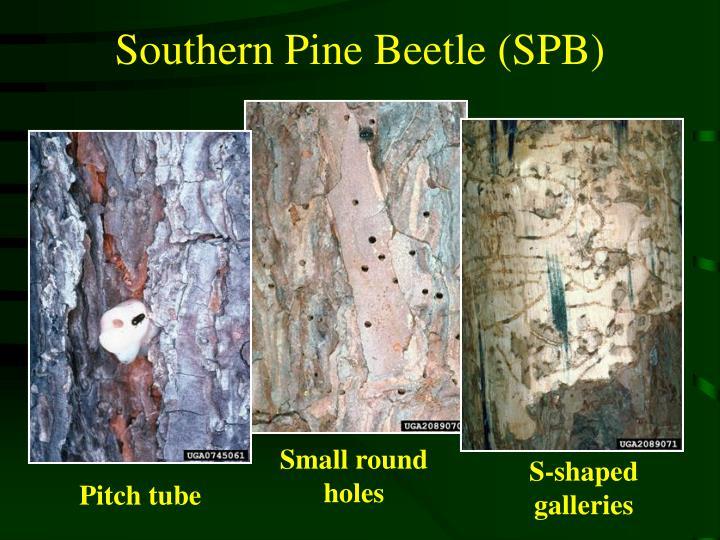 Southern Pine Beetle (SPB)