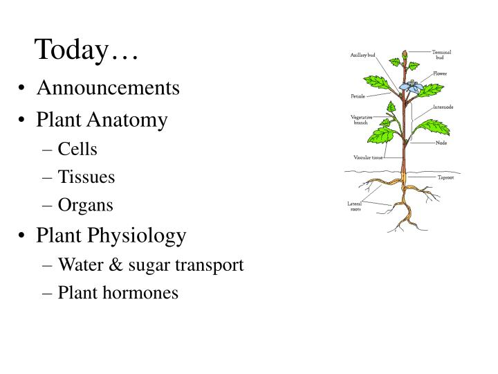 PPT - Lecture 3: Plant anatomy and physiology PowerPoint ...