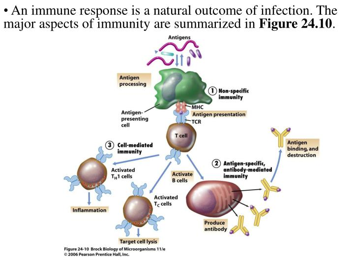 An immune response is a natural outcome of infection. The major aspects of immunity are summarized in