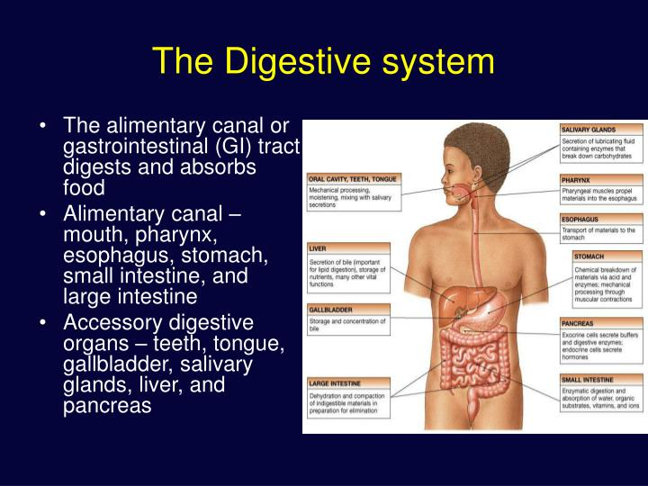 Ppt the digestive system powerpoint presentation id1283335 the digestive system toneelgroepblik Images