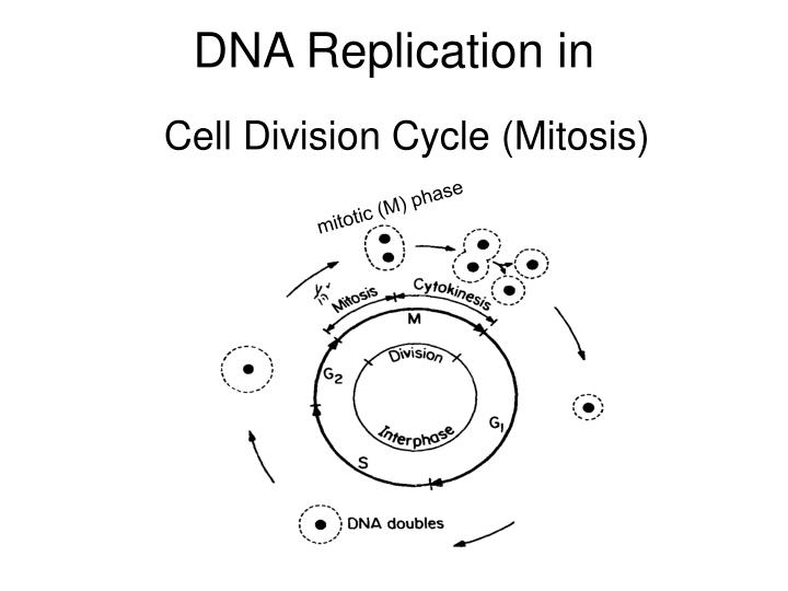 DNA Replication in
