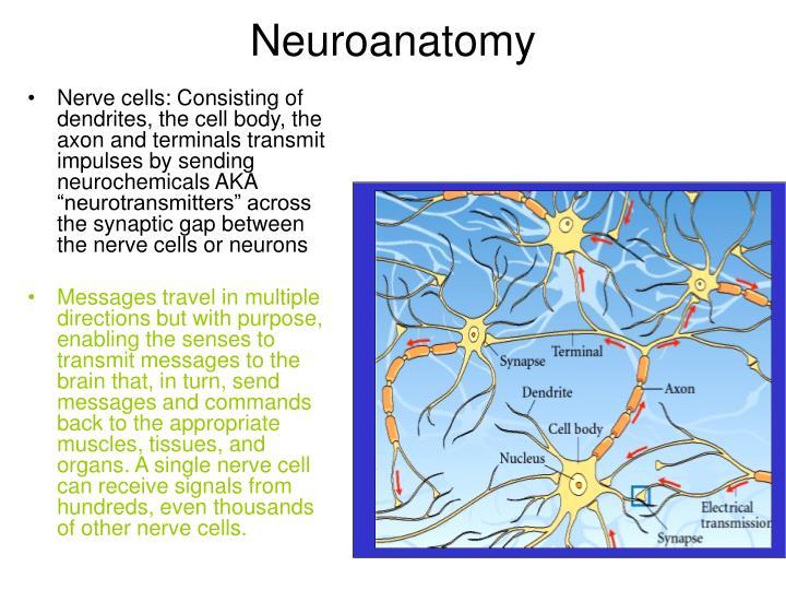 Neuroanatomy