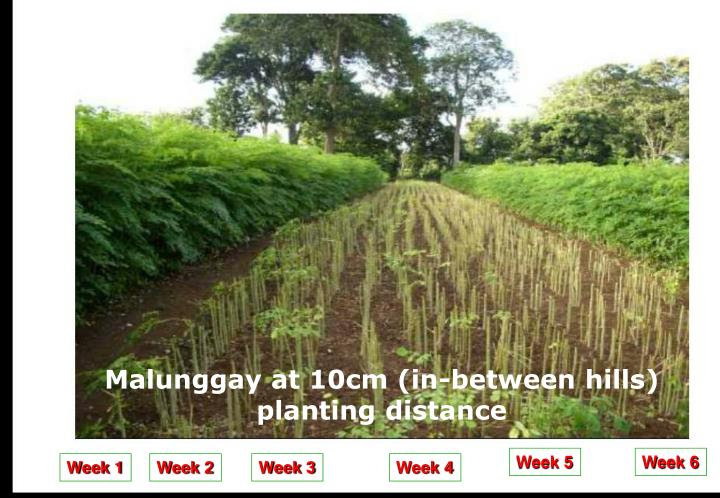 Malunggay at 10cm (in-between hills) planting distance