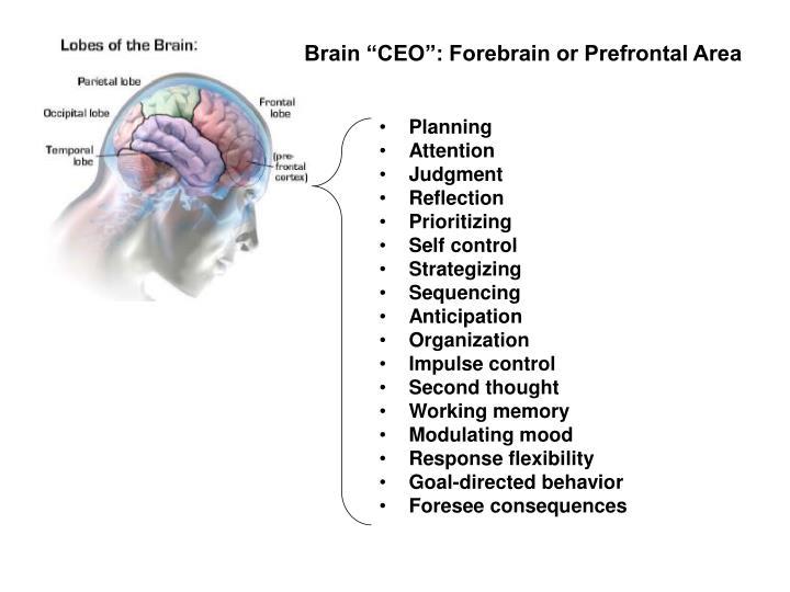Frontal brain