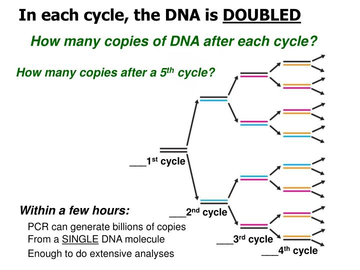 In each cycle, the DNA is