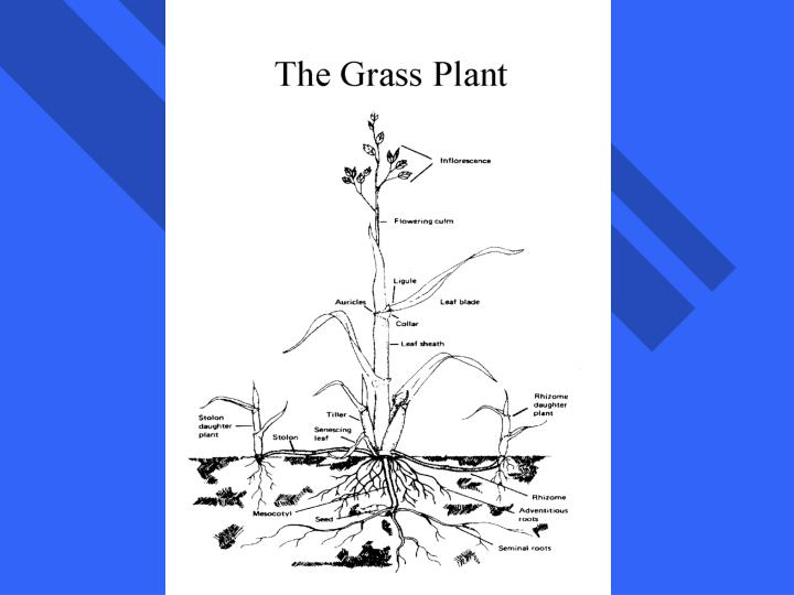 The Grass Plant