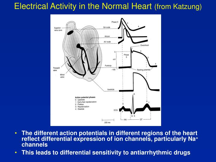 Electrical Activity in the Normal Heart