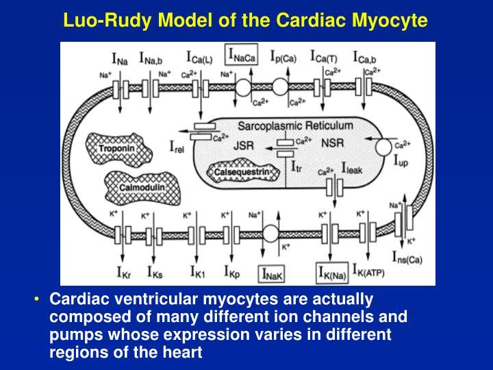 Luo-Rudy Model of the Cardiac Myocyte