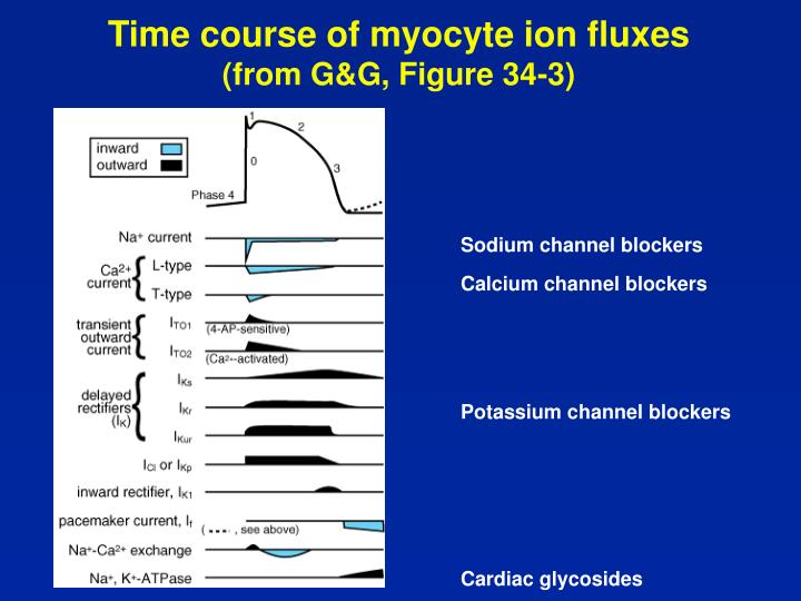 Time course of myocyte ion fluxes