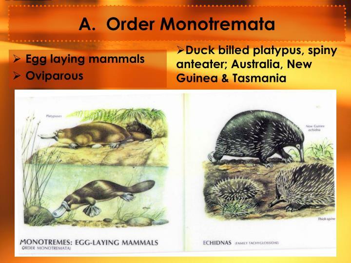 A.  Order Monotremata