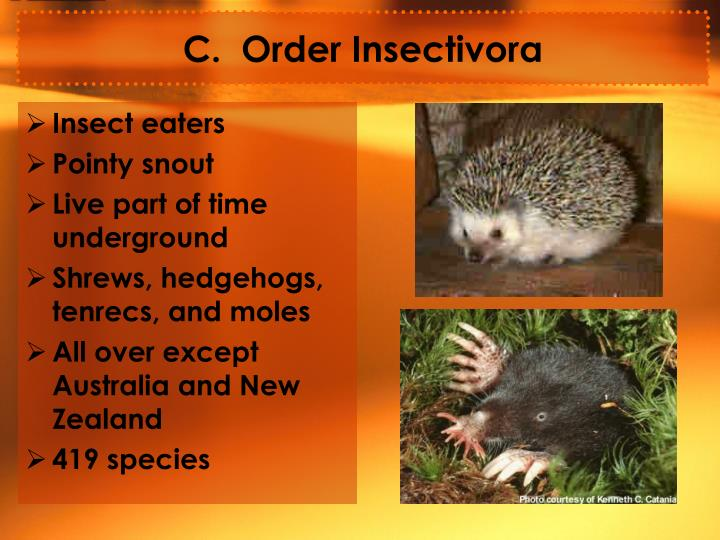 C.  Order Insectivora