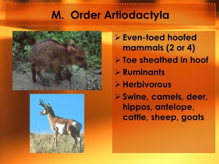 M.  Order Artiodactyla