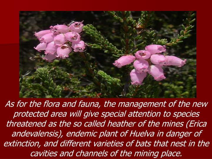 As for the flora and fauna, the management of the new protected area will give special attention to species threatened as the so called heather of the mines (Erica andevalensis), endemic plant of Huelva in danger of extinction, and different varieties of bats that nest in the cavities and channels of the mining place.