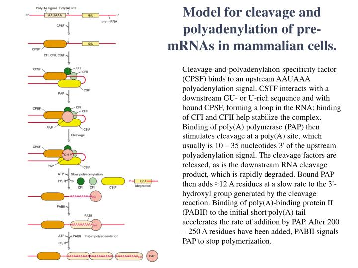 Model for cleavage and polyadenylation of pre-mRNAs in mammalian cells.