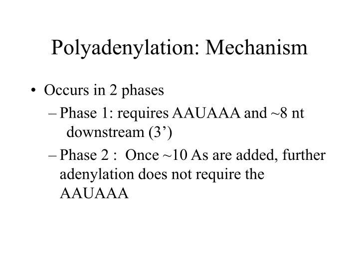 Polyadenylation: Mechanism