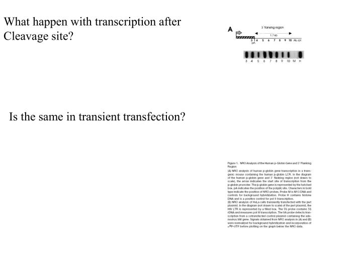 What happen with transcription after
